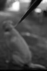 This Way! (PositiveAboutNegatives) Tags: nikon slr vintagecamera nikonf eyelevel plainprism nikkor nonai 58mm 58cm 58cmnikkors film analog foma fomapan fomapan100 bw blackandwhite rodinal yellowfilter dog lab labrador yellowlab coolscan bokeh