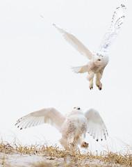 Snowy Owls Fighting over Prey (arlene sopranzetti) Tags: snowy owls island beach state park new jersey nj winter dunes