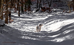 I am waiting for you (Fay2603) Tags: dog hund malteser maltese winter wintertime inverno hiver outdoor trees bäume alberi arbre snow schnee neve shadow licht luce schatten light cane chien baum wald
