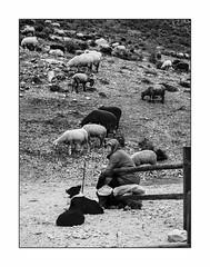 Un homme heureux. (francis_bellin) Tags: berger chiens troupeau andalousie monochrome homme blackandwhite chiensdeberger ventasdezafarraya moutons janvier bw 2019 noiretblanc espagne