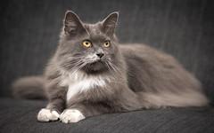 Fabulous Fur (Ranveig Marie Photography) Tags: sofa laying fur cute pet katt thinking portrait