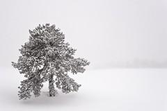 Sous la neige (lavignassey) Tags: snow neige arbre tree chartreuse foret forest alpes isère chamechaude white blanc