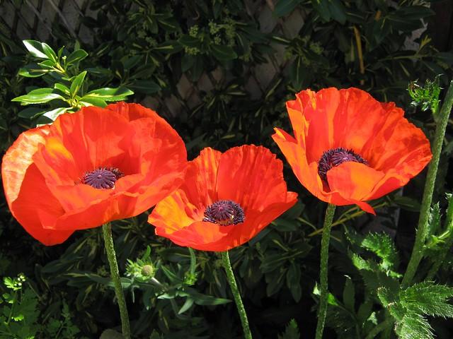 Обои Весна, Spring, Poppy red, Красные маки картинки на рабочий стол, раздел цветы - скачать