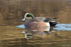 American Wigeon (Simon Stobart) Tags: american wigeon mareca americana swimming water scotland uk