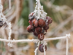 Frozen grapes (bertrandwaridel) Tags: 2018 echallens february switzerland vaud winter frost frosty frozen grapes nature plants