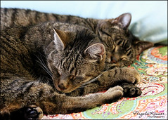 Brothers From Different Mothers... (angelakanner) Tags: canon70d furbabies tabbies sleeping loveable