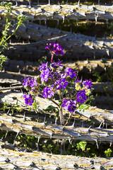 Little flowered heliotrope phacelia (Phacelia crenulata blooming amongst a fallen ocotillo (slworking2) Tags: borregosprings california unitedstatesofamerica us anzaborrego anzaborregodesertstatepark wildflowers desert blooming sandiego