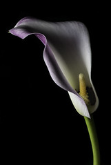 Calla Lily In The Light (Bill Gracey 23 Million Views) Tags: callalily callalilien fleur flower flor floralphotography macrolens blackbackground homestudio softbox yongnuo yongnuorf603n nature naturalbeauty color colorful shapes shadows shadowshapes curves lakeside