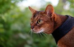 LizZie watching birds 😼 (revisited) 😻 (DizzieMizzieLizzie) Tags: sonyilce6500 sigma30mmf14dcdn|contemporary016 abyssinian aby lizzie dizziemizzielizzie portrait cat feline gato gatto katt katze kot meow pisica 2018