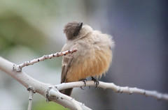Say's Phoebe (Monkeystyle3000) Tags: says phoebe bird brown peach