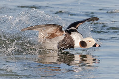 Kersplash!!! (tresed47) Tags: 2019 201902feb 20190205indianriverbirds birds canon7dmkii content delaware ducks folder indianriverinlet longtailedduck peterscamera petersphotos places season takenby us winter
