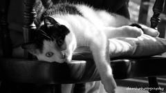 Barnaby (damhphotography) Tags: blackandwhite cat pose bw animal
