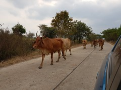 Cattle parade 2 (SierraSunrise) Tags: animals bovine cows esarn isaan nongkhai roads thailand