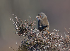 Dartford Warbler (KHR Images) Tags: dartfordwarbler dartford warbler sylviaundata wild bird dunwich heath suffolk coast wildlife nature heather nikon d500 kevinrobson khrimages