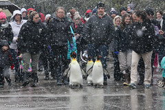 234A4753.jpg (Mark Dumont) Tags: bird penguin teagan zoo dumont cincinnati