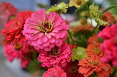 Zinnias (Kim Yokota) Tags: wychwoodbarnesfarmersmarket august2018 summer artscapewychwoodbarns torontoontario canada nikond7000 nikonafsnikkor24mmf14ged flowers pretty zinnias pink