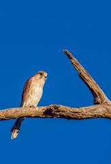 Blue Skies & Yellow Eyes. (AutisticReaction) Tags: falcon light autumn eyes sigma bigma pentax k3 nankeen kestrel cenchroides native australian bird of prey
