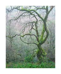 Skaigh Wood, Dartmoor, Devon, UK (SimonHMiles) Tags: dartmoor moor heath landscape tree trees wood woods woodland forest branch branches mist winter fog rain wet