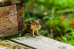 Chipmunk 7889 Aug 29 2017-2 (bdcoen) Tags: chipmunk mammal cute cheeks illinois