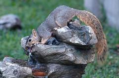 He Prefers Running Water (Kaptured by Kala) Tags: sciurusniger foxsquirrel squirrel garlandtexas fountain drinking drinkingwater closeup outsidemywindow runningwater thirsty
