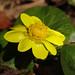 Ranunculus ficaria L.  キクザキリュウキンカ