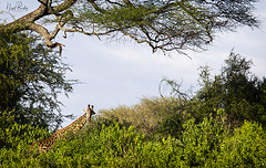 GIRAFFE 1 (Nigel Bewley) Tags: tanzania africa wildlife nature wildlifephotography nigelbewley photologo appicoftheweek giraffe giraffacamelopardalis february february2019 tarangirenationalpark safari gamedrive