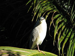 Nycticorax nycticorax --  Night Heron 4067 (Tangled Bank) Tags: palm beach county florida wild nature natural oudoors nycticorax blackcrowned night heron 4069