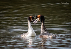 🇬🇧 Great crested grebes (vickyouten) Tags: greatcrestedgrebes grebes nature naturephotography wildlife britishwildlife wildlifephotography nikon nikond7200 nikonphotography nikkor55300mm penningtonflash leigh uk vickyouten