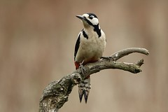 Great spotted woodpecker (Feathers (Allan)) Tags: birds nature bird wildlife bphotography naturephotography animals wildlifephotography animal birdwatching birdphotography naturelovers birding