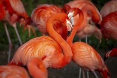 Flamongos (DeanB Photography) Tags: 1dx 2019 animals canon deanb osnabrück sigma sigma150600 themenwlt tier tiere tierpark tierwelt zoo animal tierfotograf zoopark flamingos flamingo vogel