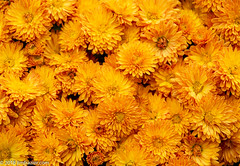 Mmmmmuuuuuummmmmmssssssssss (Jim Frazier) Tags: 2018 2018cantigny2018 chrysanthemums abstract autumn background beautiful beauty bloom blooming blossoming blossoms botanical burgeoning burgeons cantigny centered centralperspective class colorfield crowded desktop diffuse dupage fall flora floral flourishing flowering flowers gardening gardens growing headon horticulture il illinois jimfraziercom linedup living minimalism minimalist mums museum nature october parks perpendicular petals photoclass photography photowalk plants pov powerpoint preserve public q4 symmetrical symmetry texture training wall wallpaper wheaton workshop yellow f10 fastpictures instagram