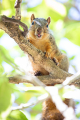 On a branch high above me, Cornstarch stuck out his tongue and proceeded to poop on my shoulder. (HellaDamnSquirrels) Tags: squirrels rodent oakland lake merritt hella damn