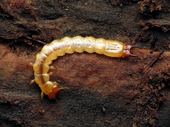Fire-colored Beetle Larva (treegrow) Tags: nature lifeonearth glendening maryland raynoxdcr250 arthropoda insect beetle coleoptera dendroidescanadensis pyrochroidae