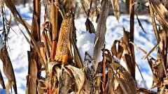 Last corn this winter (Szymon Karkowski) Tags: outdoor winter snow nature corn agriculture cultivation silesian voivodeship gliwice poland nikon d7100