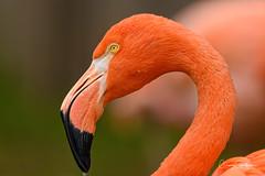 Flamingo Close-up (craig goettsch) Tags: