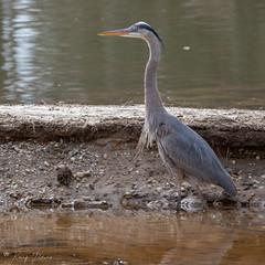 FM5A0310 (Kemp Davis) Tags: wildlife nature aquaticbird greatblueheron