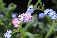 Forget me not (abrideu) Tags: abrideu canoneos100d flowers forgetmenot macro depthoffield bright bokeh ngc npc