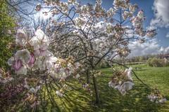HDR Blossom (The Happy Snapping Dog Walker) Tags: blossom flowers petals flora tree spring branch nature natural hdr luminance canon eos80d samyang fisheye outside hampshire basingstoke seasons