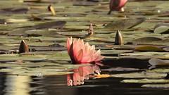 Кувшинка (unicorn7unicorn) Tags: цветы вода парк кувшинка lookingcloseonfriday тельавив мерия multicolored contest spotlight