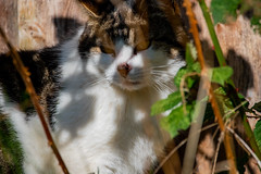 Hiding from the sun (Mikon Walters) Tags: pet pets outdoors garden cat kitty kitten cute fluffy furry white brown black animal animals creature living things nature wildlife wild life nikon d5600 sigma 150600mm contemporary super zoom lens photography close up 600mm