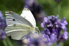 Kohlweißling / Cabbage butterfly (Pieris brassicae) (uwe125) Tags: tier insekt schmetterling animal insect butterfly blüte nektar nectar lavender blossom kohlweisling cabbagebutterfly