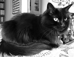 I'm not going to look at the camera....... (rustyruth1959) Tags: resting bell collar eyes ears fur feline jingles monochrome mono bw animal cat indoor iphone7 ssc saturdayselfchallenge tail nose
