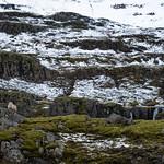 Icelandic Sheep thumbnail
