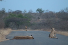 Roadblock Up Ahead (Rckr88) Tags: krugernationalpark southafrica kruger national park south africa roadblock up ahead roadblockupahead roads road lion lions lioness bigcat animals animal naturalworld nature outdoors wilderness wildlife