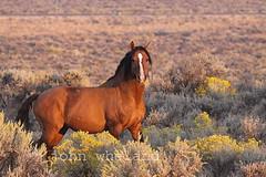 Wild horse! (calljohn3) Tags: steens wild equine horse horses nature oregon