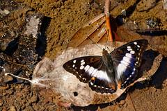 Mimathyma ambica ssp. miranda  - Chiang Dao_20180202_1150_DSC_7272_DxO (I love comments but delete awards - Jan F. Rasmuss) Tags: thailand d800 butterfly butterflies macro closeup insecta lepidoptera rhopalocera nikon janfischerrasmussen janfrasmussen asia southeastasia nymphalidae nymphalid nymphalids apaturinae mimathymaambicasspmiranda mimathymaambica mimathyma ambica miranda chiangmai chiangmaiprovince chiangdao