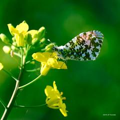 Aurore sur colza (jpto_55) Tags: papillon papillonaurore colza fleur proxi bokeh fuji fujifilm xt20 fujixf55200mmf3548rlmois hautegaronne france