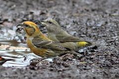 Young Male & Female Crossbills (Georgiegirl2015) Tags: crossbill birds nature dellalack wildlifephotography january2019 winter male female canon countryside conifer water forestofdean gloucestershire canon7d 7dmkii ef300mm puddle avian