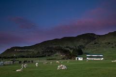 pink sunrise clouds over sheep paddock, rural wairarapa (hueymilunz) Tags: longexposure blue sunrise sky clouds colour rural farm green sheep wairarapa nz newzealandtransition newzealand nature landscape