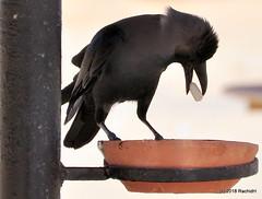 DSC_0565 (RachidH) Tags: birds oiseaux crow corvids corvidae corvus redsea egypt housecrow corvussplendens corbeau corneille corbeaufamilier rachidh nature